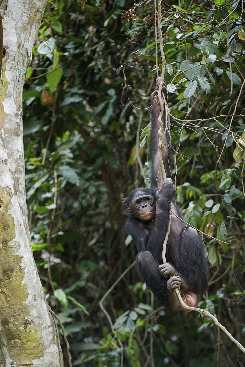 Female bonobo hanging around in Congo