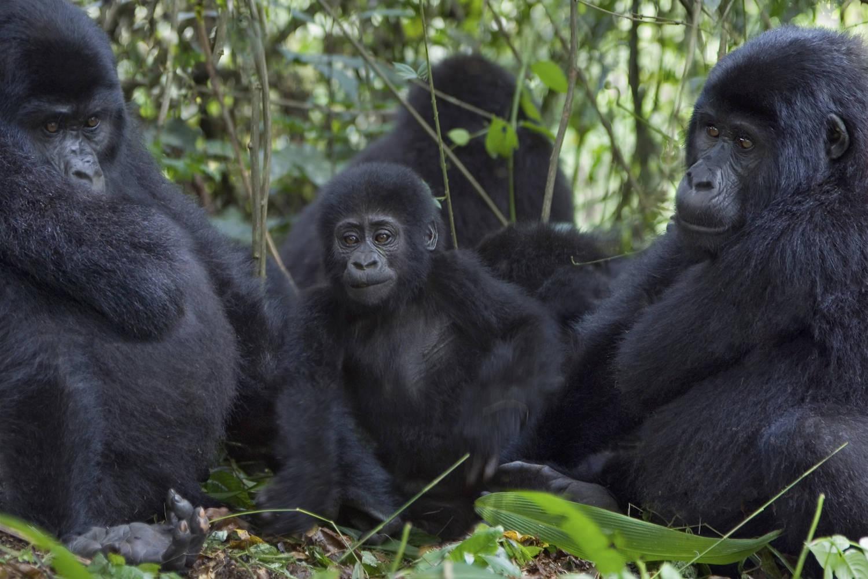Mountain gorillas in the Virunga National Park