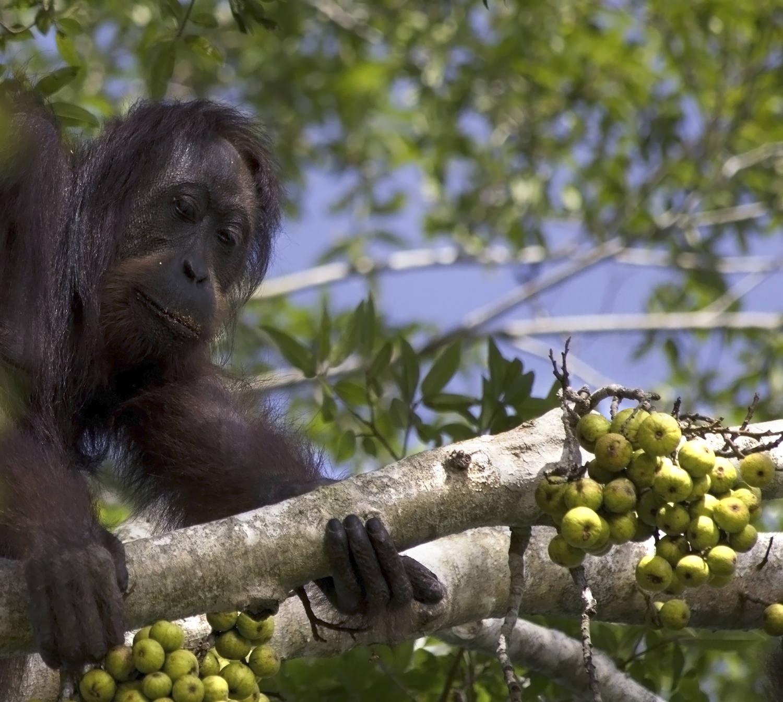 Bornean orangutan hits the fruit jackpot
