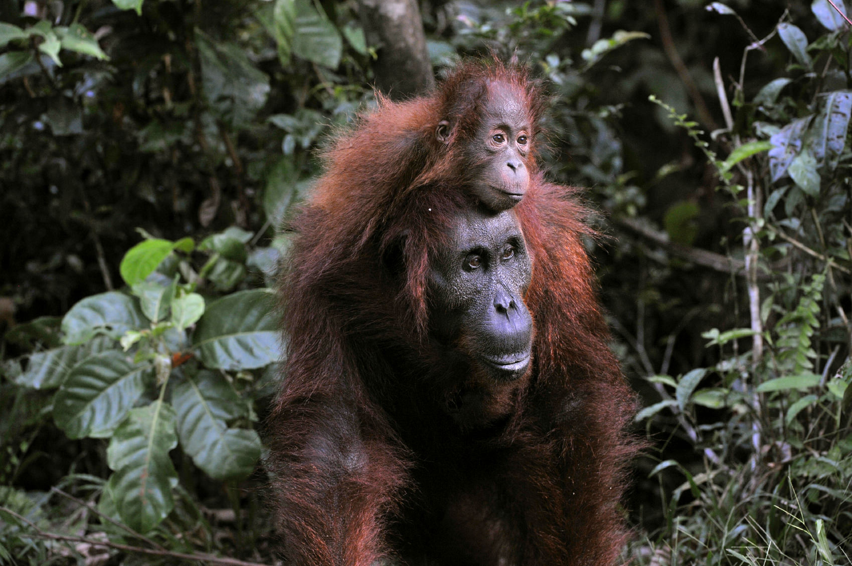Bornean female orangutan carrying her infant