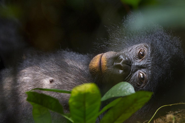Bonobo Congo Africa