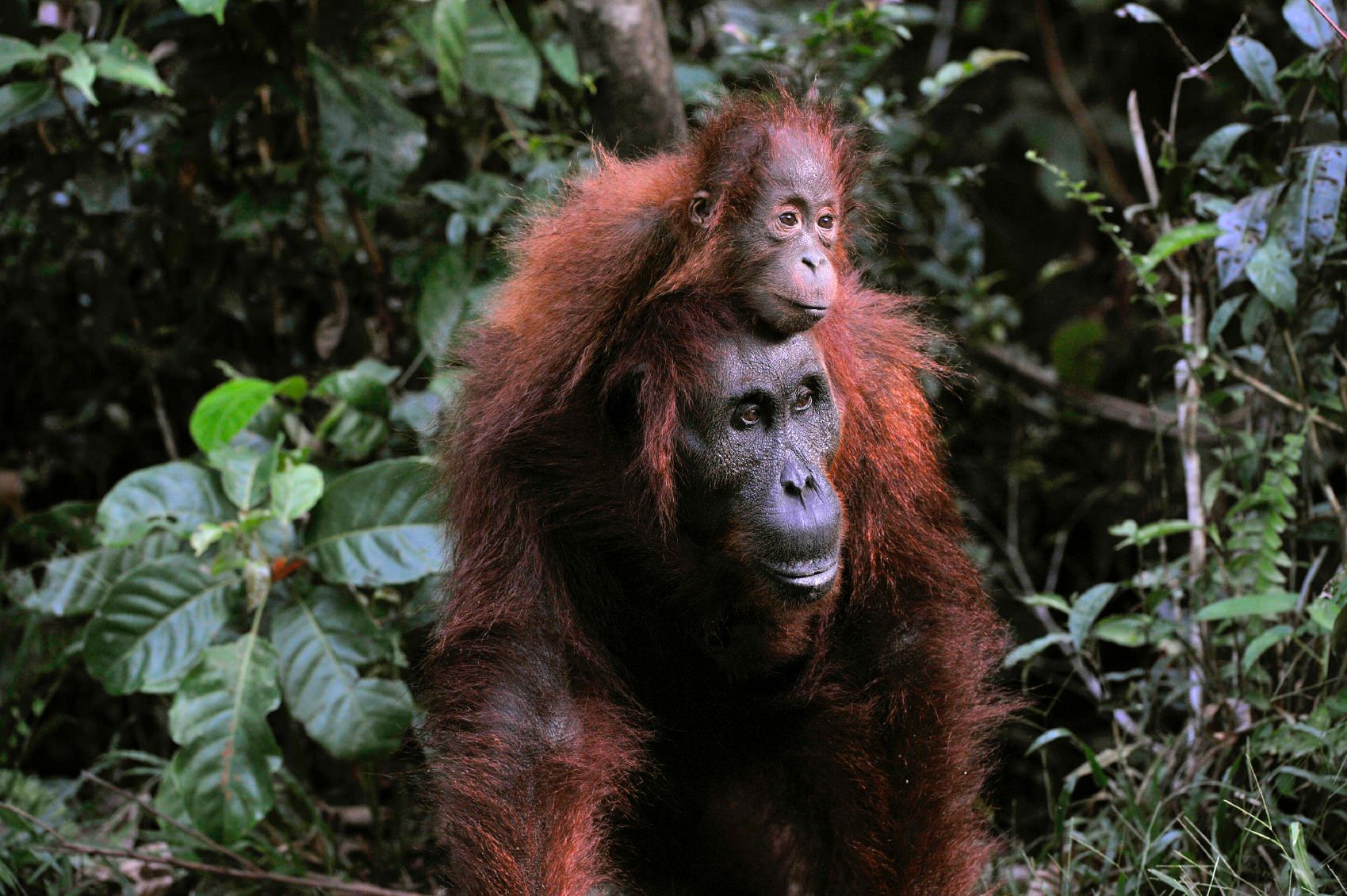 Mini fixed Orangutan mother with baby around neck.jpeg