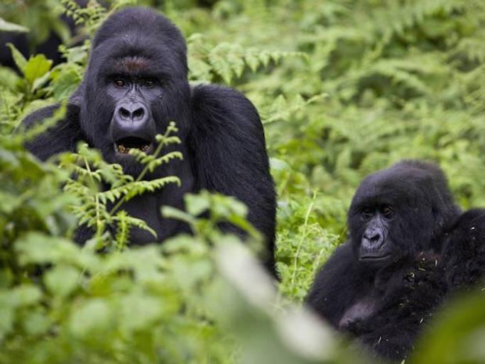 moutain gorilla conservation