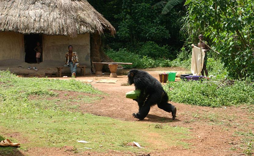 Chimpanzee stealing food