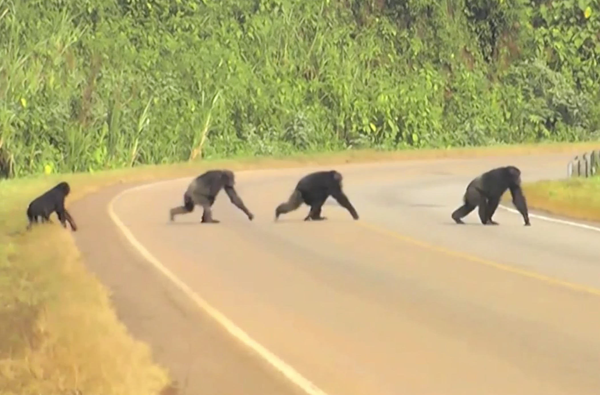 wild chimps crossing road