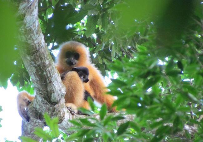 Rare gibbon family discovered