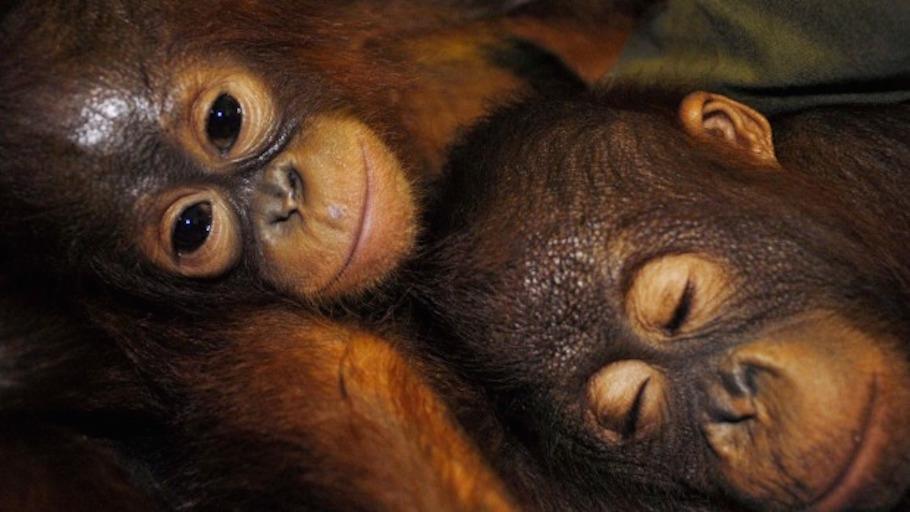 Mining company threatens orangutans