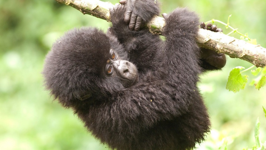 Baby gorilla naming ceremony helping to save their lives