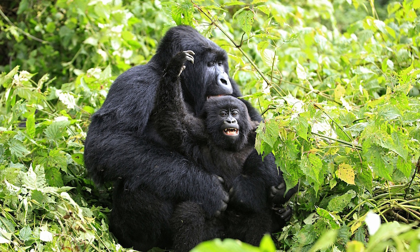 Oil exploration threatens wild mountain gorillas
