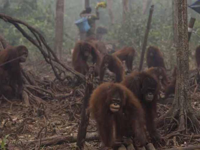 Sanctuary orangutans walking through forest smoke