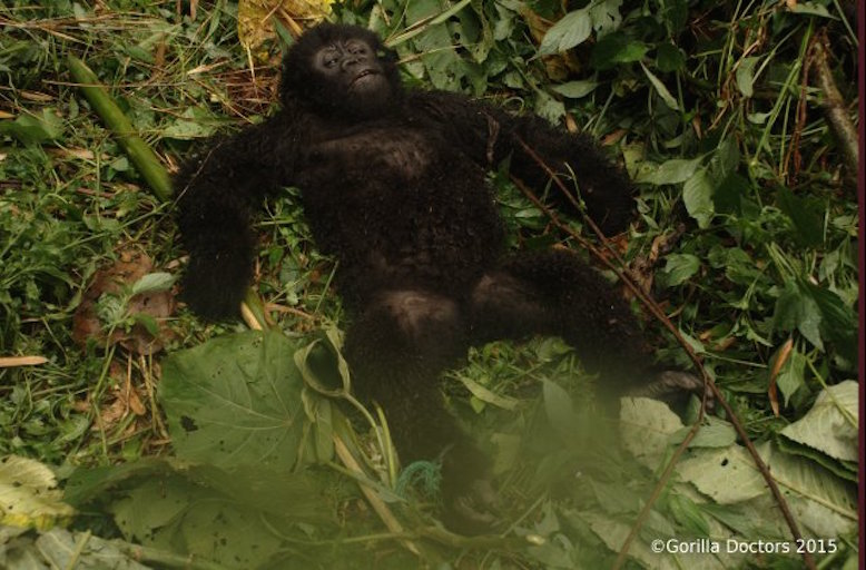 Gorilla Doctors successfully release a baby gorilla from poacher's snare
