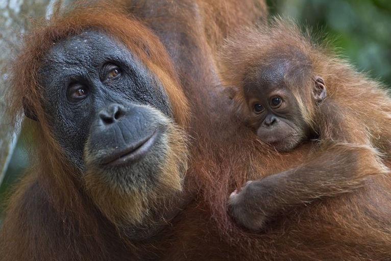 Can algae help save the orangutans?