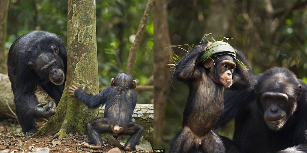 Young chimpanzee crowning himself king of the forest.jpg