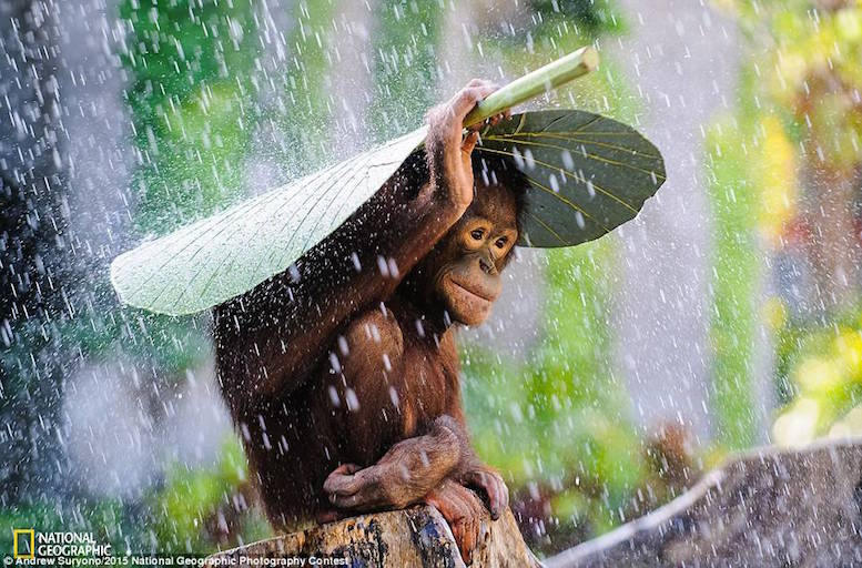 Ornagutan in the rain