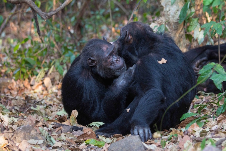 social netwoking is key to chimpanzee health.jpg