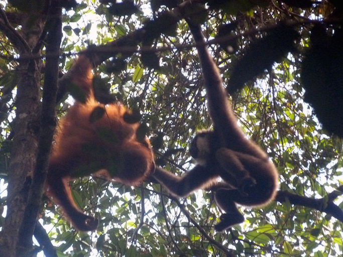 orangutan and gibbon playing in the wild
