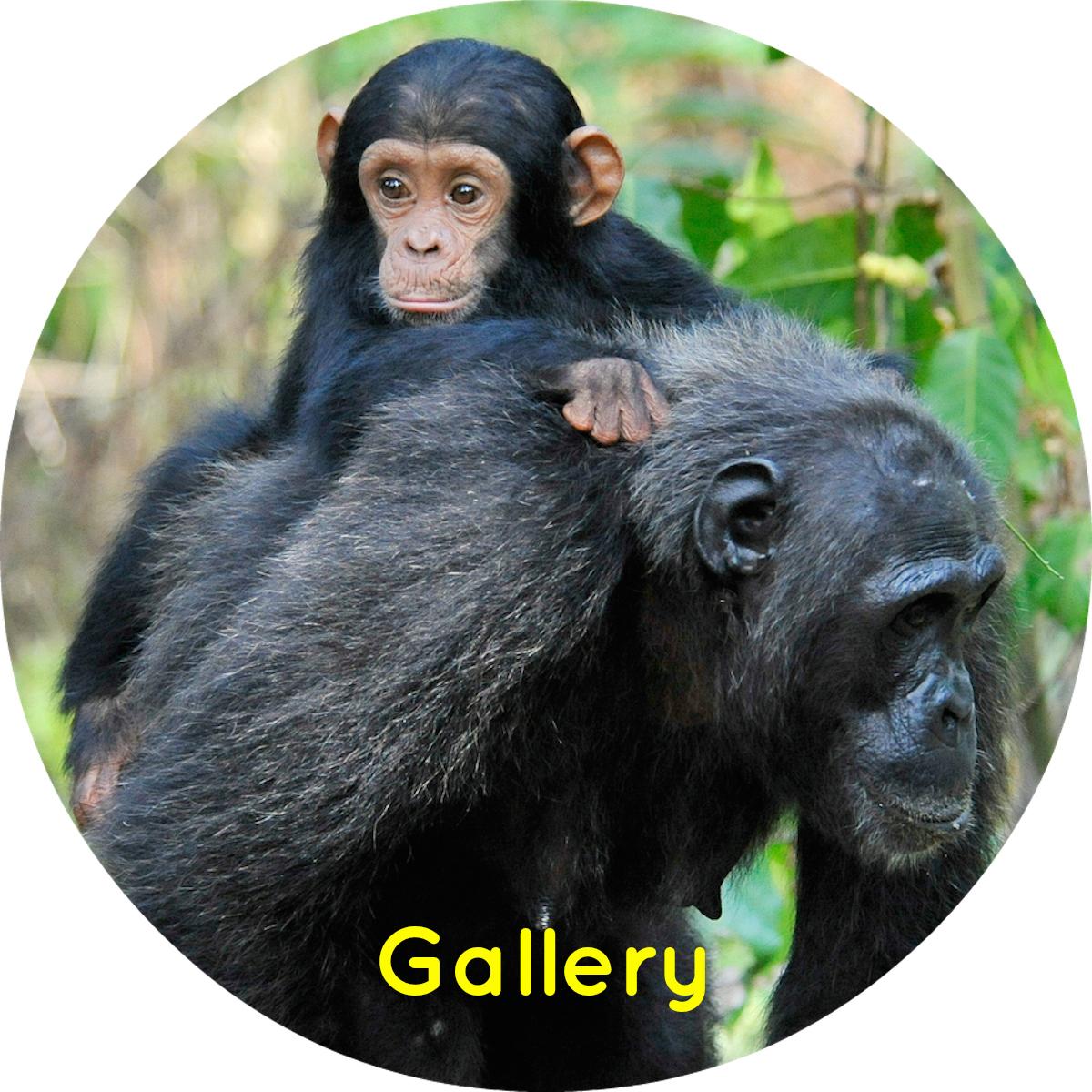 Chimpanzee gallery thumb.jpg