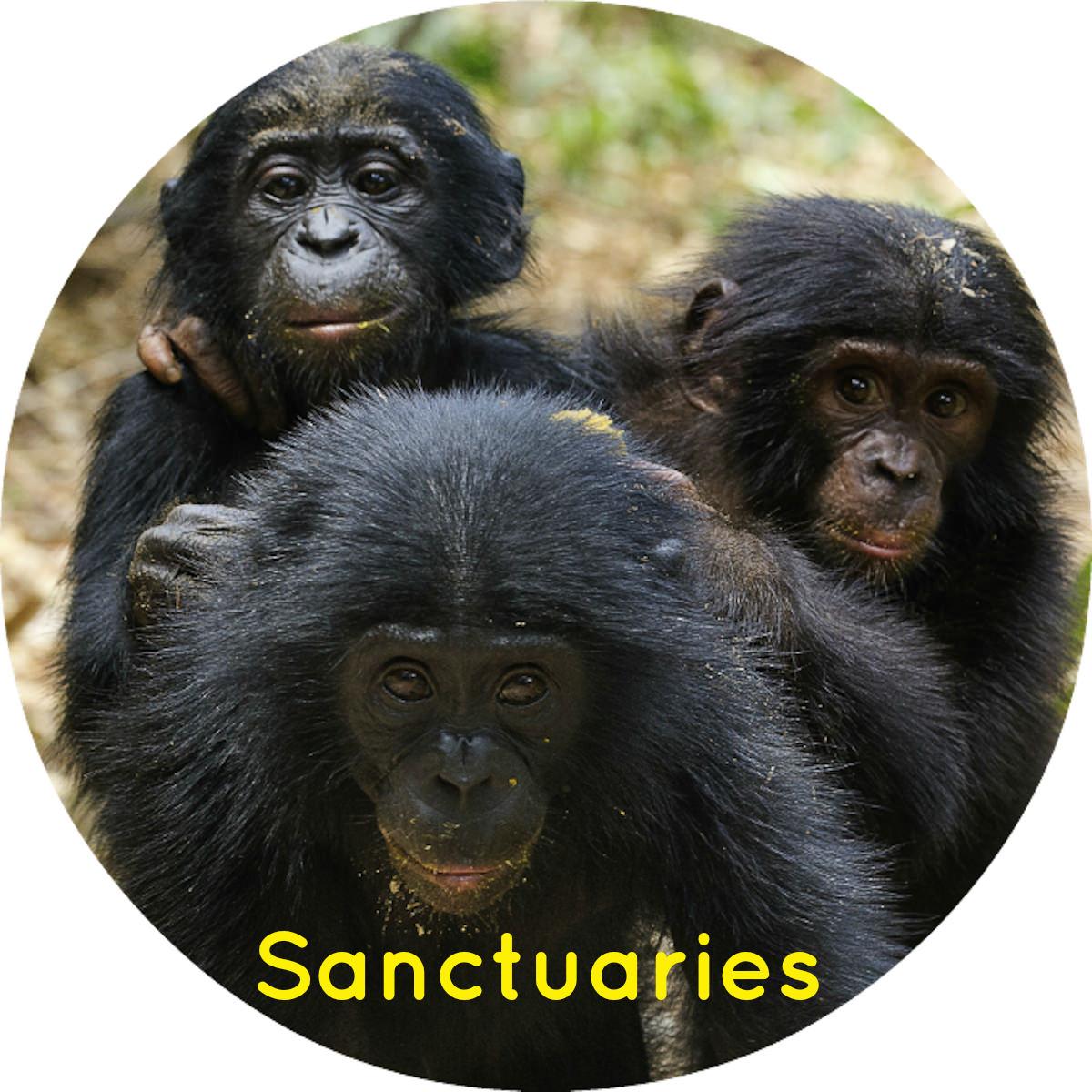 orphan bonobos sanctuaries thumb .jpg