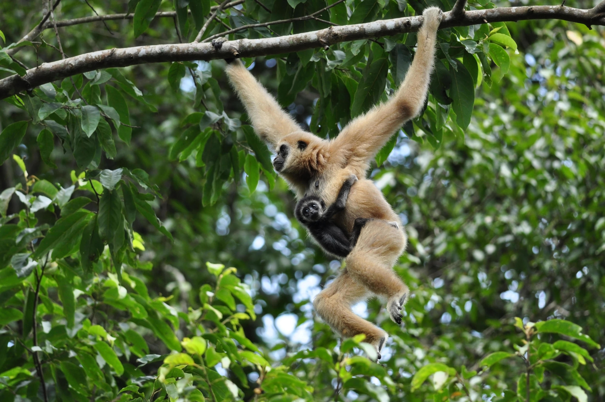Gibbon mother with her baby