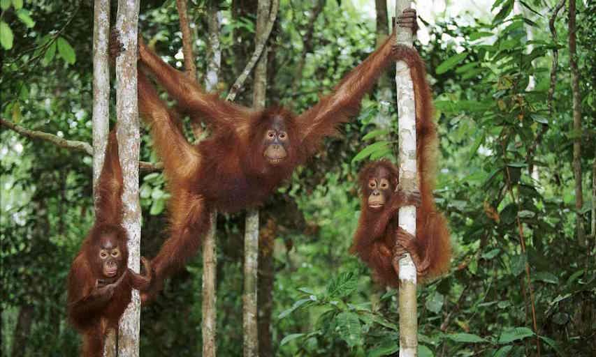 wild orangutans David Attenborough