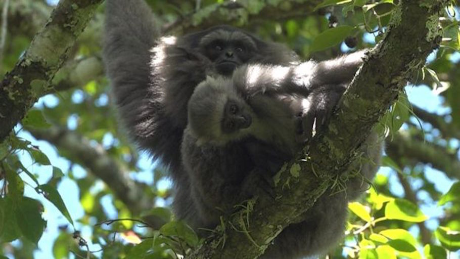 gibbon baby.jpg