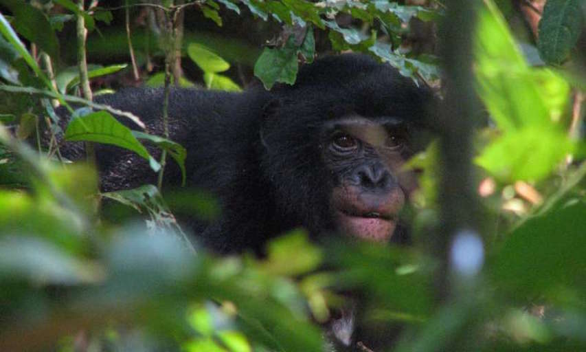 A female bonobo of the Hali-Hali community in the Kokolopori Bonobo Reserve (Democratic Republic of the Congo) is feeding on seeds of an African rosewood tree. The seed is visible between her lips; bonobo plant diet was assessed as part of this study. Credit: Alexander Georgiev