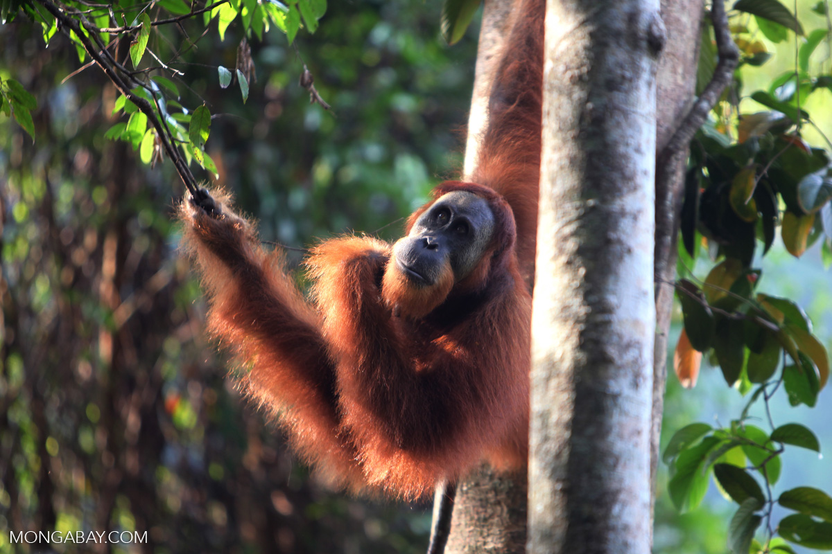 orangutans self medicate.jpg