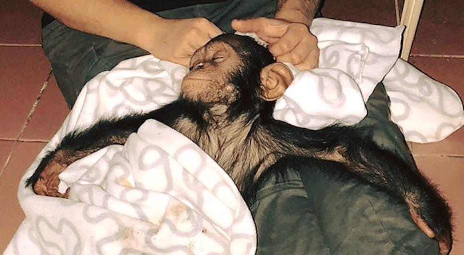 orphan chimp.jpeg