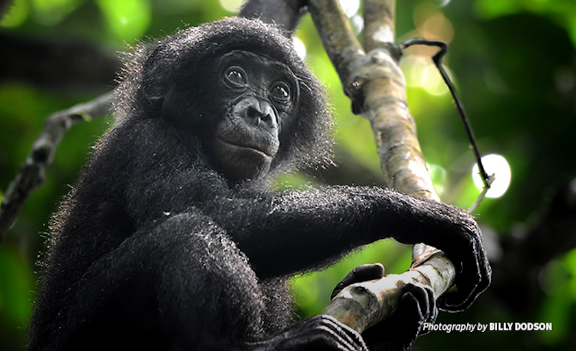 BonoboDRCForest.jpg