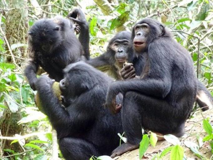 bonobos sharing.jpg
