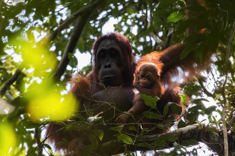 Orangutans in Sabangau Forest - Gracia and new infant Gara - Pau Brugues Sintes_Borneo Nature Foundation_623.jpg