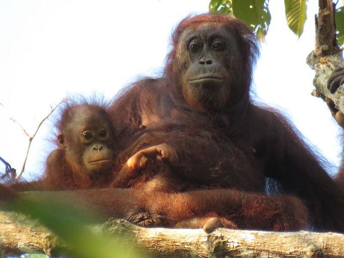 born orangutan.jpg