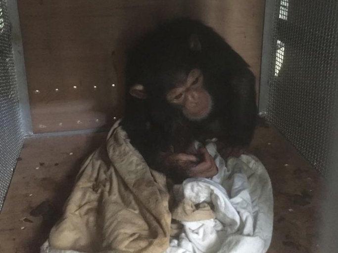 smuggled chimpanzee infant.jpg