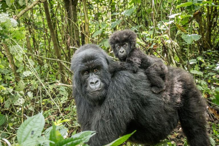 wild mountain gorillas.jpeg