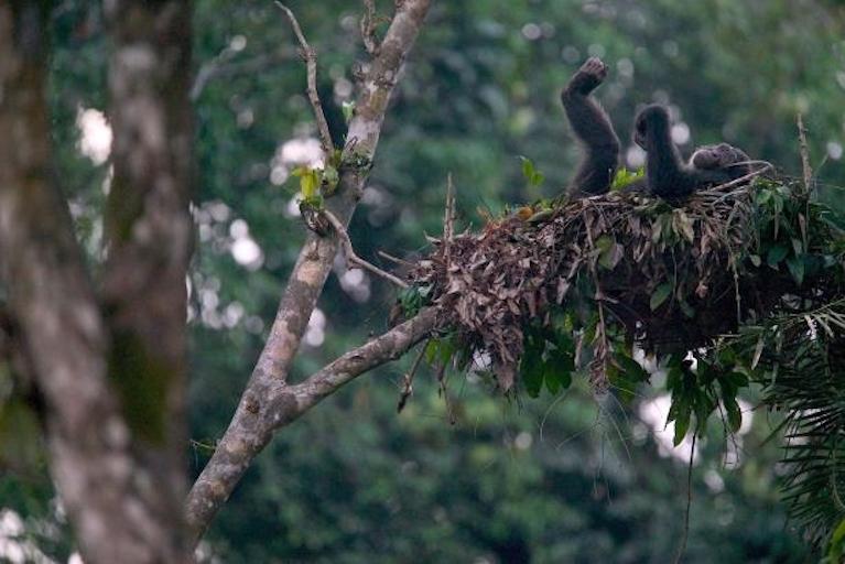 chimp in nest.jpg