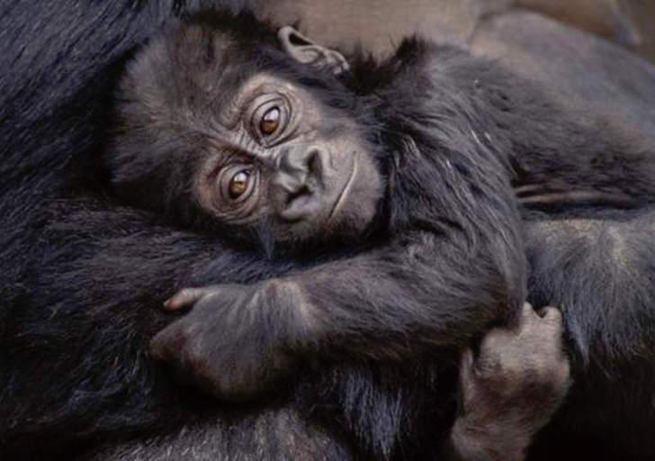 easternl gorillajpg.jpg