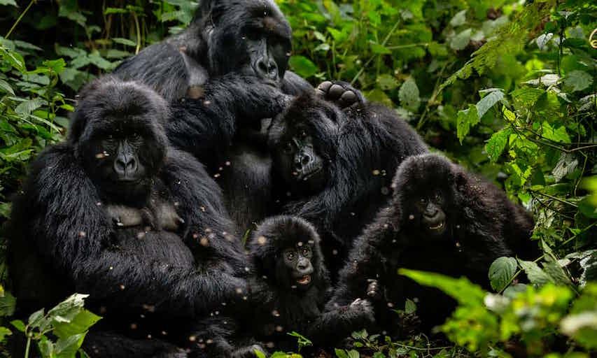 mountain gorillas.jpg