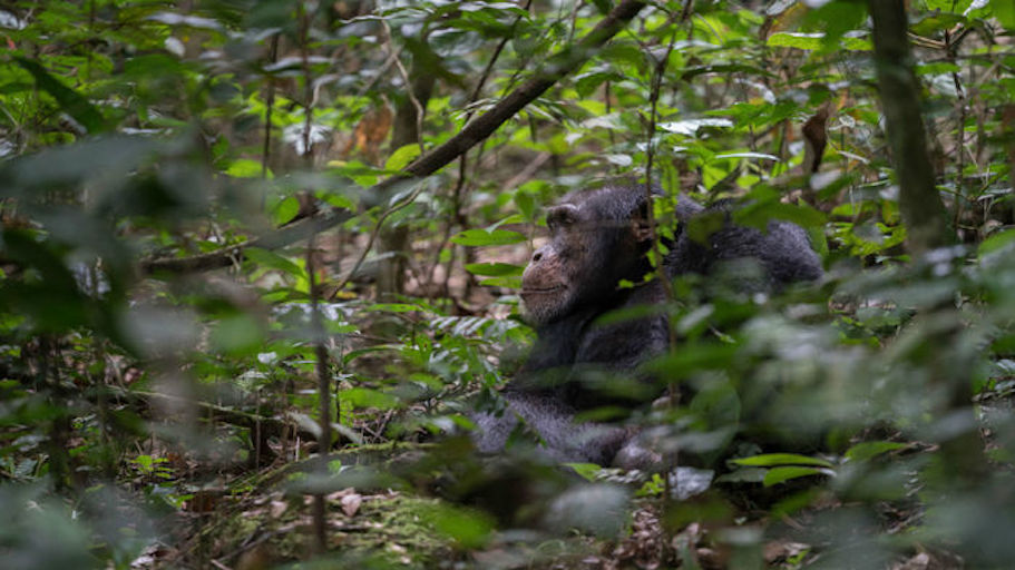 wild chimpanzee.jpg