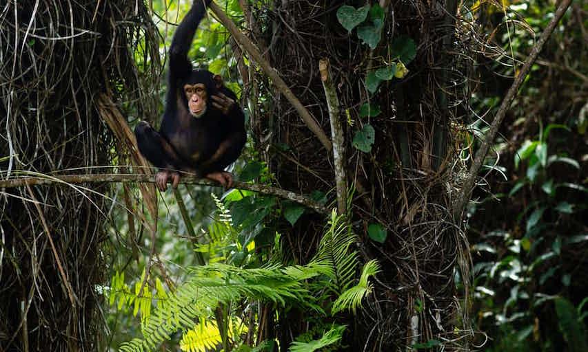 chimp wild 1.jpg