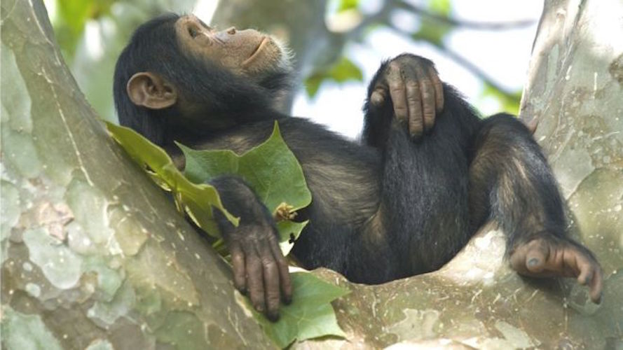chimp palm.jpg