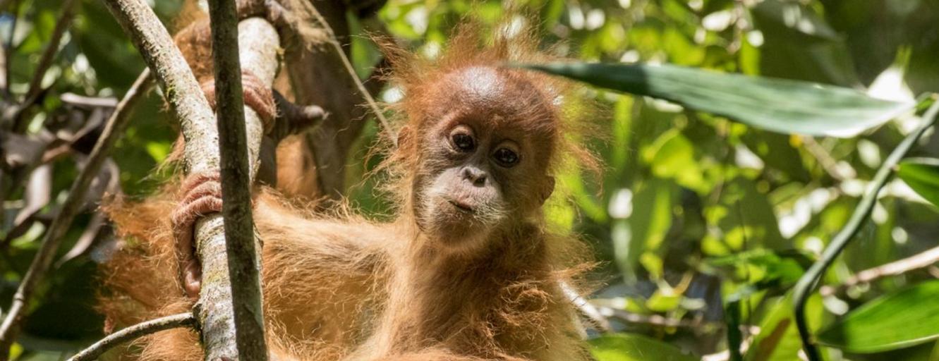 wild orangutan.png