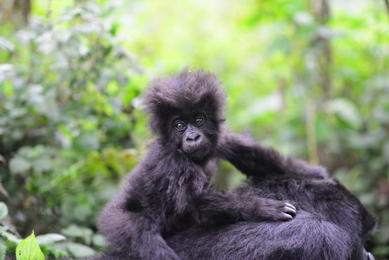 world ape fund mountain gorilla.jpg