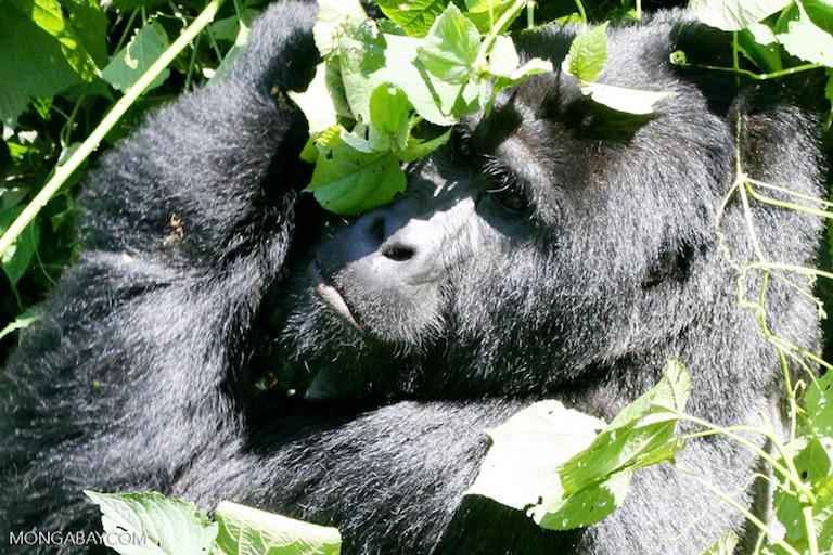 wild gorilla.jpg