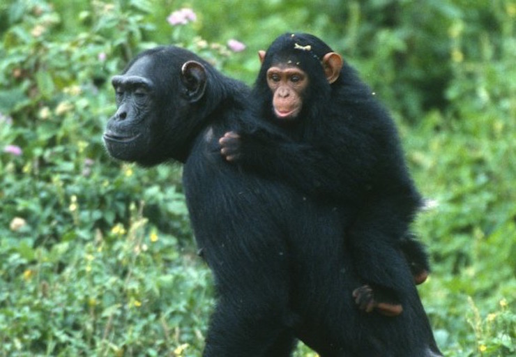 wild chimpanzee with infant.jpeg