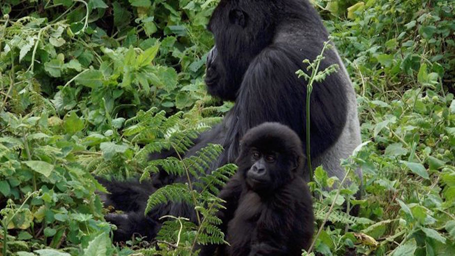GorillaFatherAndMaleInfantInJungle.jpg.653x0_q80_crop-smart.jpg