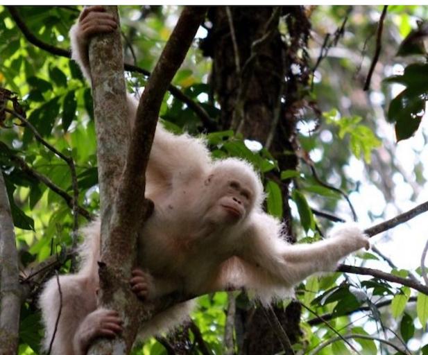 albino orangutan.png