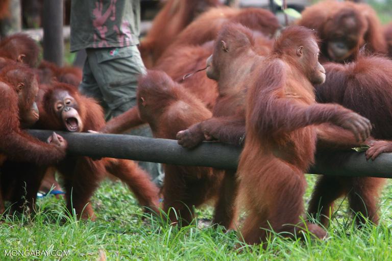 orangutan nursery.jpg