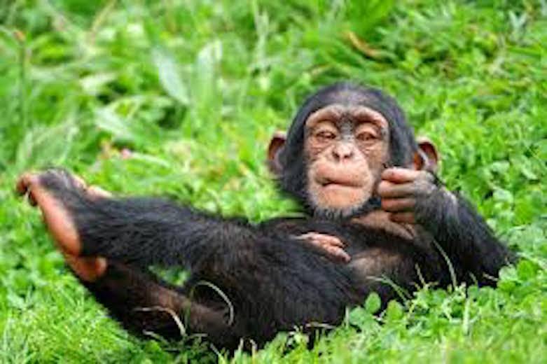 wild chimp.jpeg
