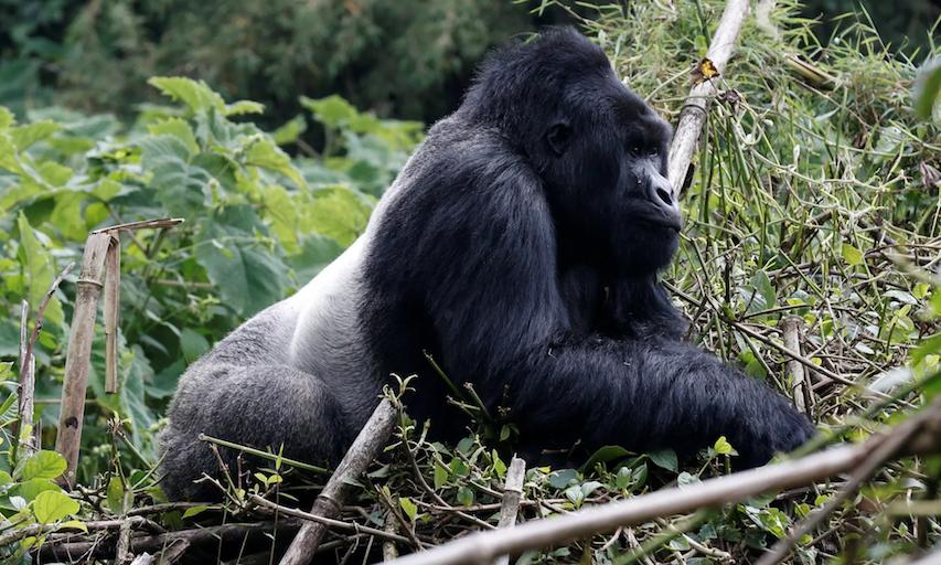 wild gorilla.png