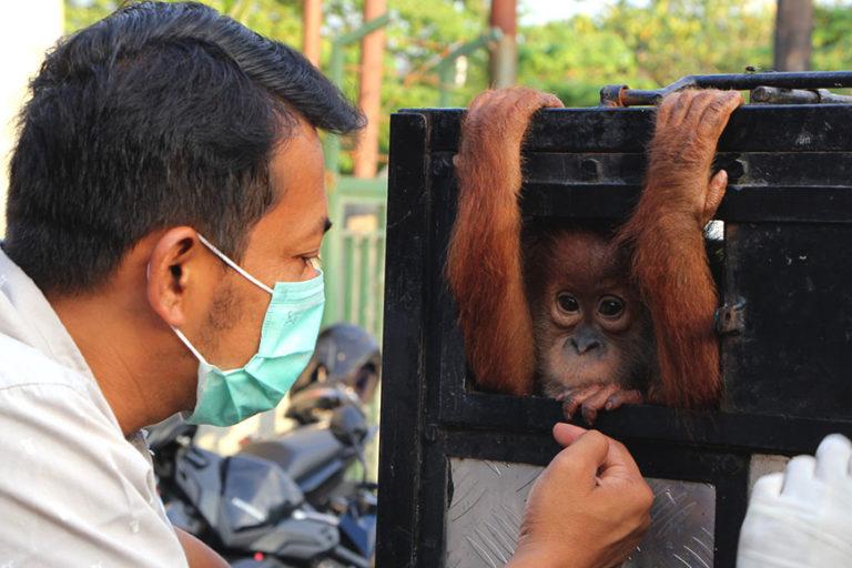 Panut-Hadisiswoyo-Ketua-YOSL-OIC-memeriksa-bahagian-tangan-anak-orangutan-sumatera-hasil-sitaan-dari-Aceh-Ayat-S-Karokaro-768x512.jpg
